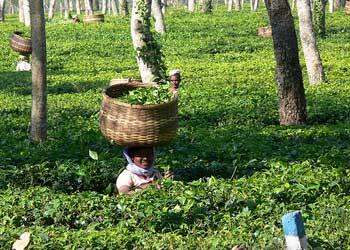 Assam tea gardens