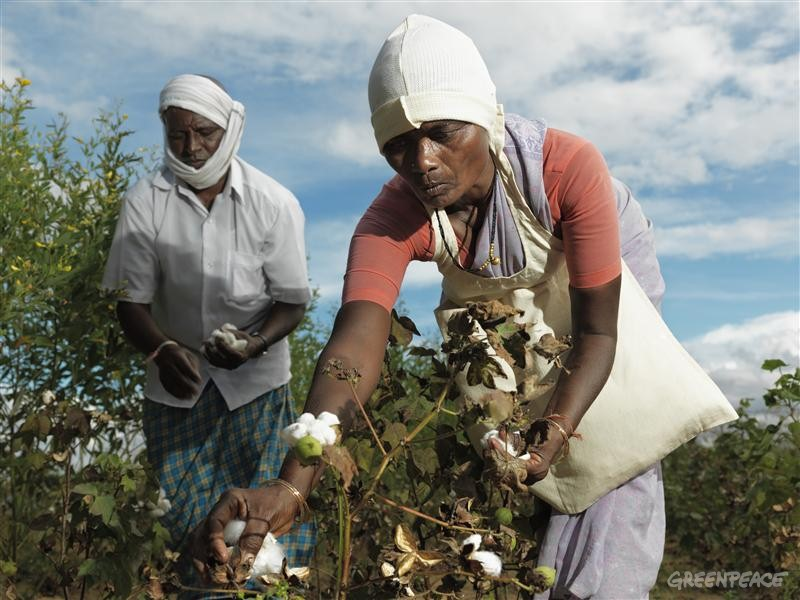 Cotton growing farmers
